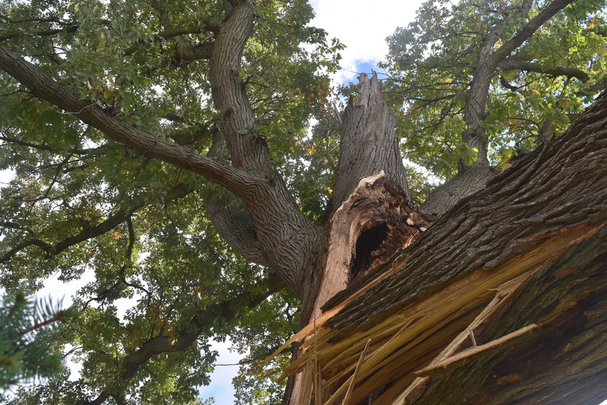 This 200-to-300-year-old tree — possibly the tallest in Lansing — will be removed from behind Cosy Koi Bed and Breakfast, on Seymour Avenue, after it split on Friday.