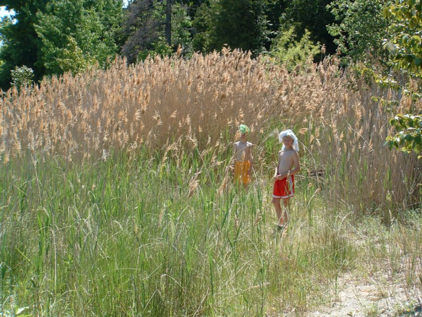 Boys stand with a healthy crop of invasive Phragmites at Cheyenne Point on Beaver Island in 2004.
