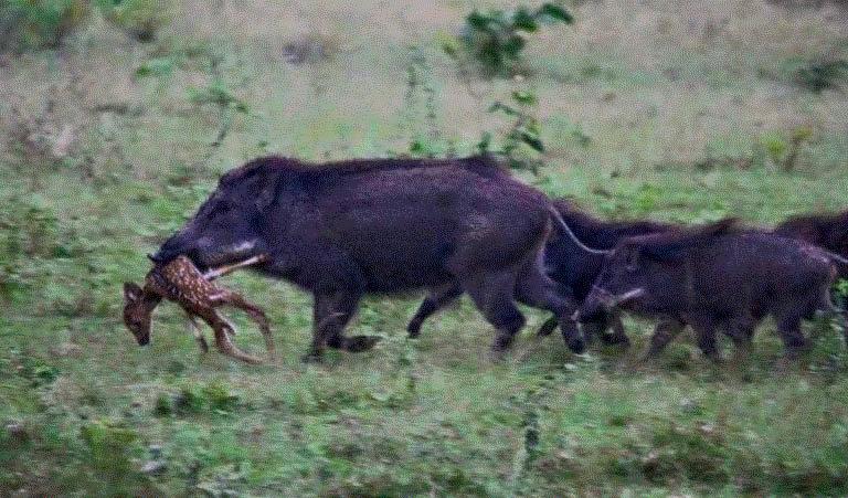 Feral swine attack a fawn.