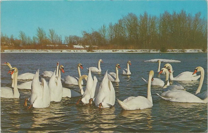 """A vintage postcard from Charlevoix says the area's flock of mute swans descended from a pair gifted from Iowa. The birds became so numerous that East Jordan """"came to be known as 'The Swan City,'"""" the card claims."""