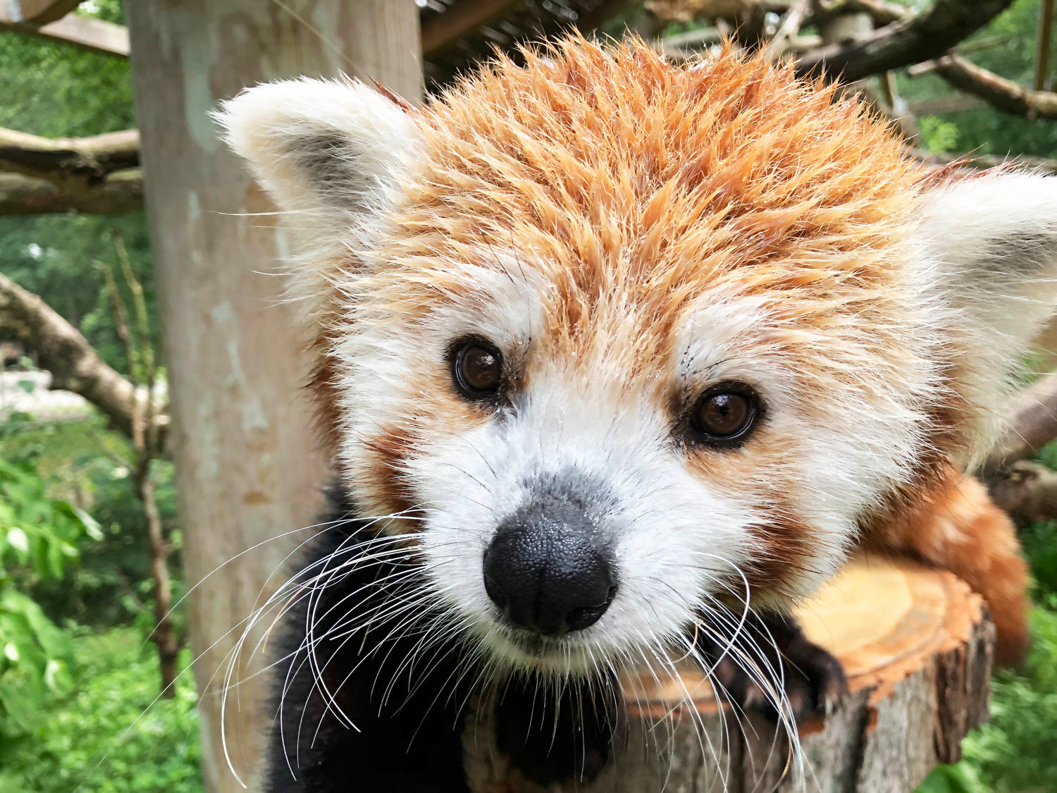 Doofah is the name of the newest male red panda to join the Potter Park Zoo family.