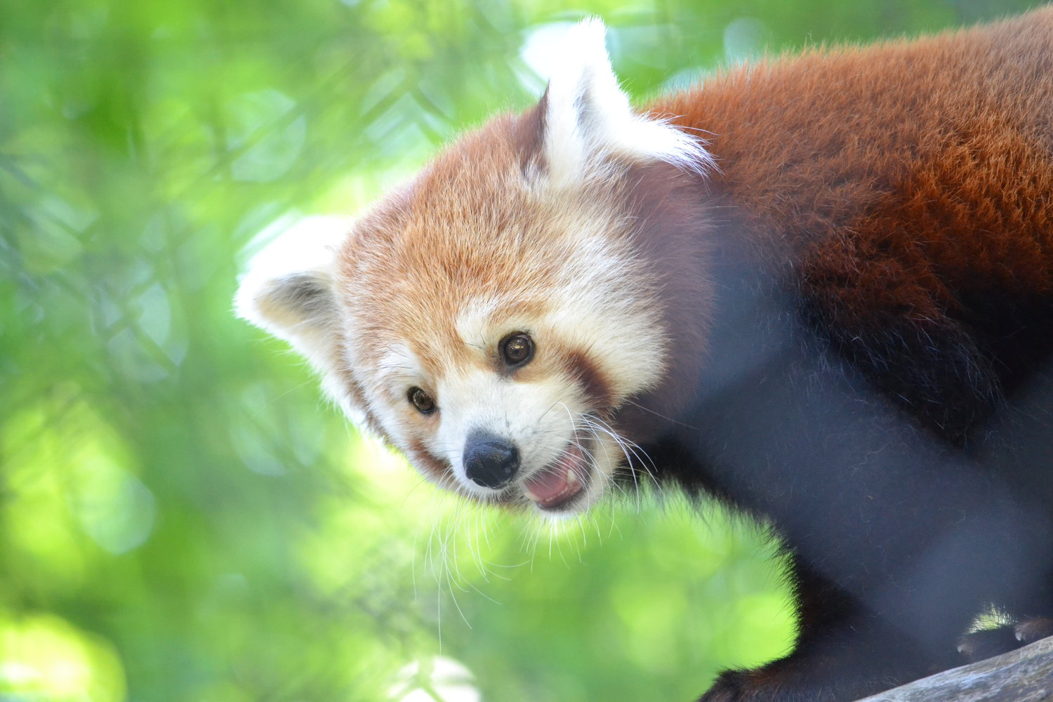 Doofah was recommended to mate with Potter Park's female red panda, Maliha, by the animal experts at the Association of Zoos and Aquariums.