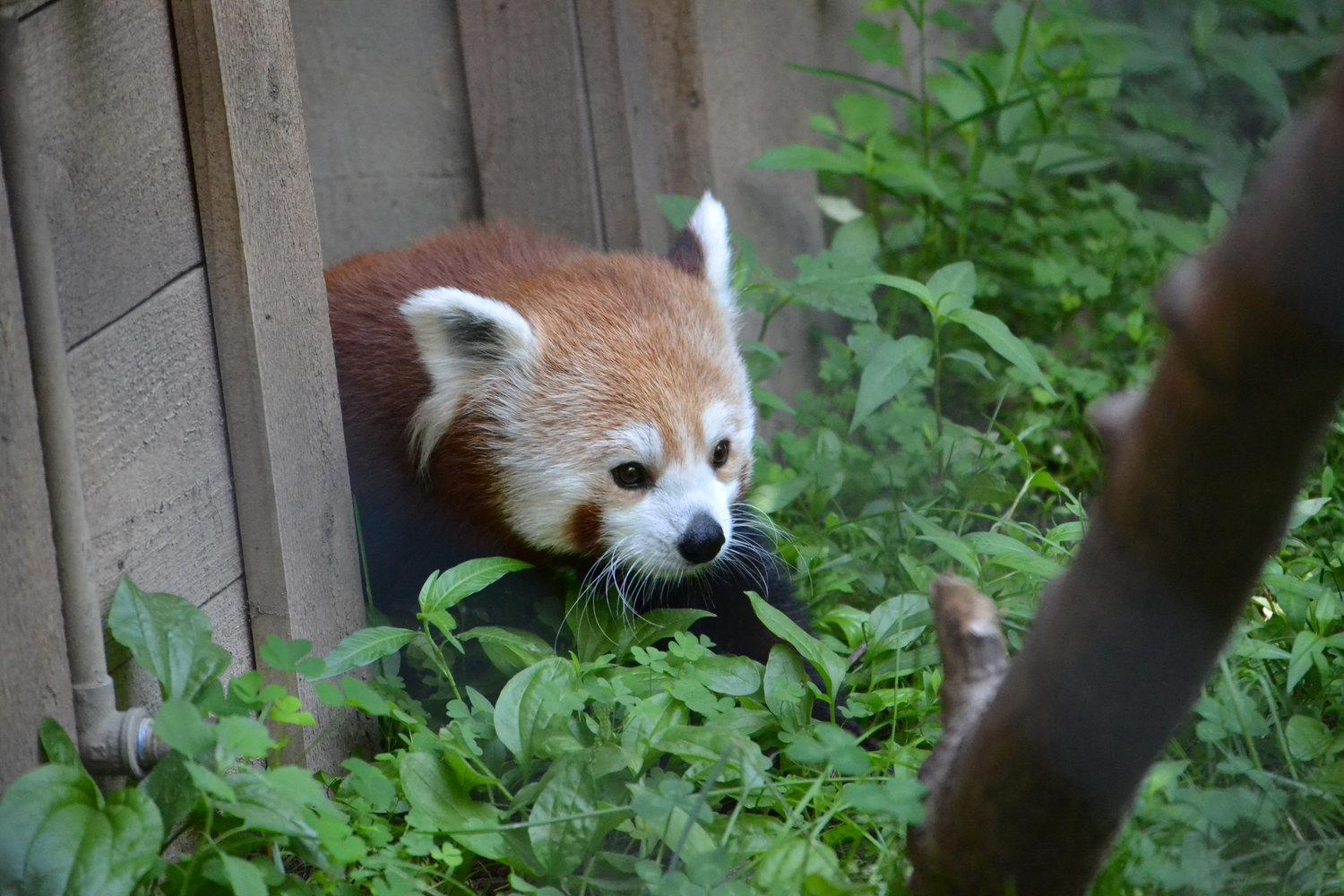 Red pandas are the only living member of the Ailuridae family.
