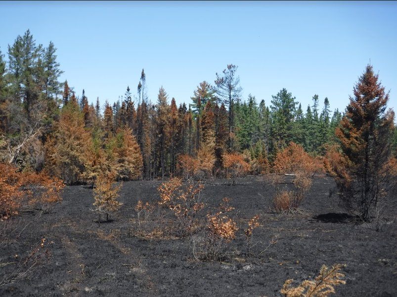Hiawatha National Forest one month after a prescribed burn in late June 2016. When a large fire burns through this region, dead and dying trees act as critical forage and nesting habitat for the black-backed woodpecker, a species of special concern in Michigan.
