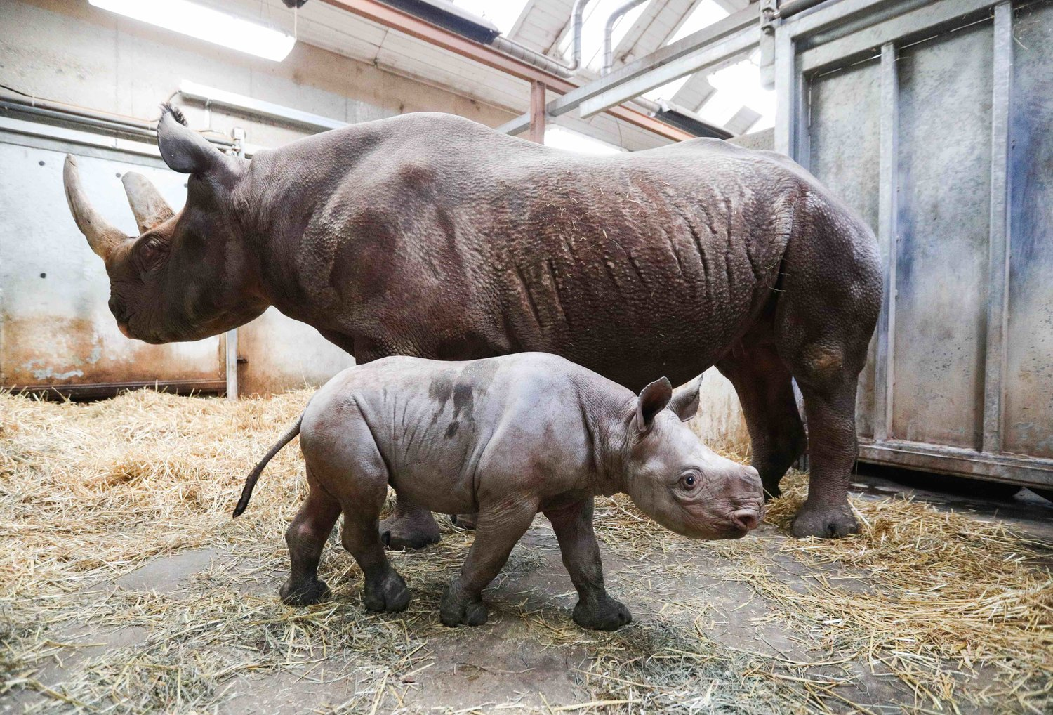 Jaali the baby rhino with his mother Doppsee