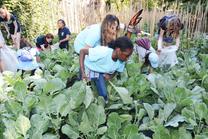 Leigh Brown, a rising eighth-grader, collects collard greens.