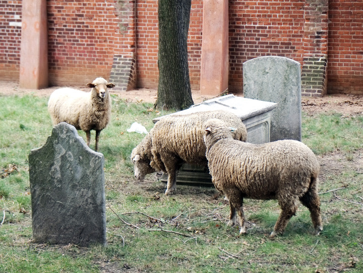 The three sheep graze among the gravestones in the church cemetery.