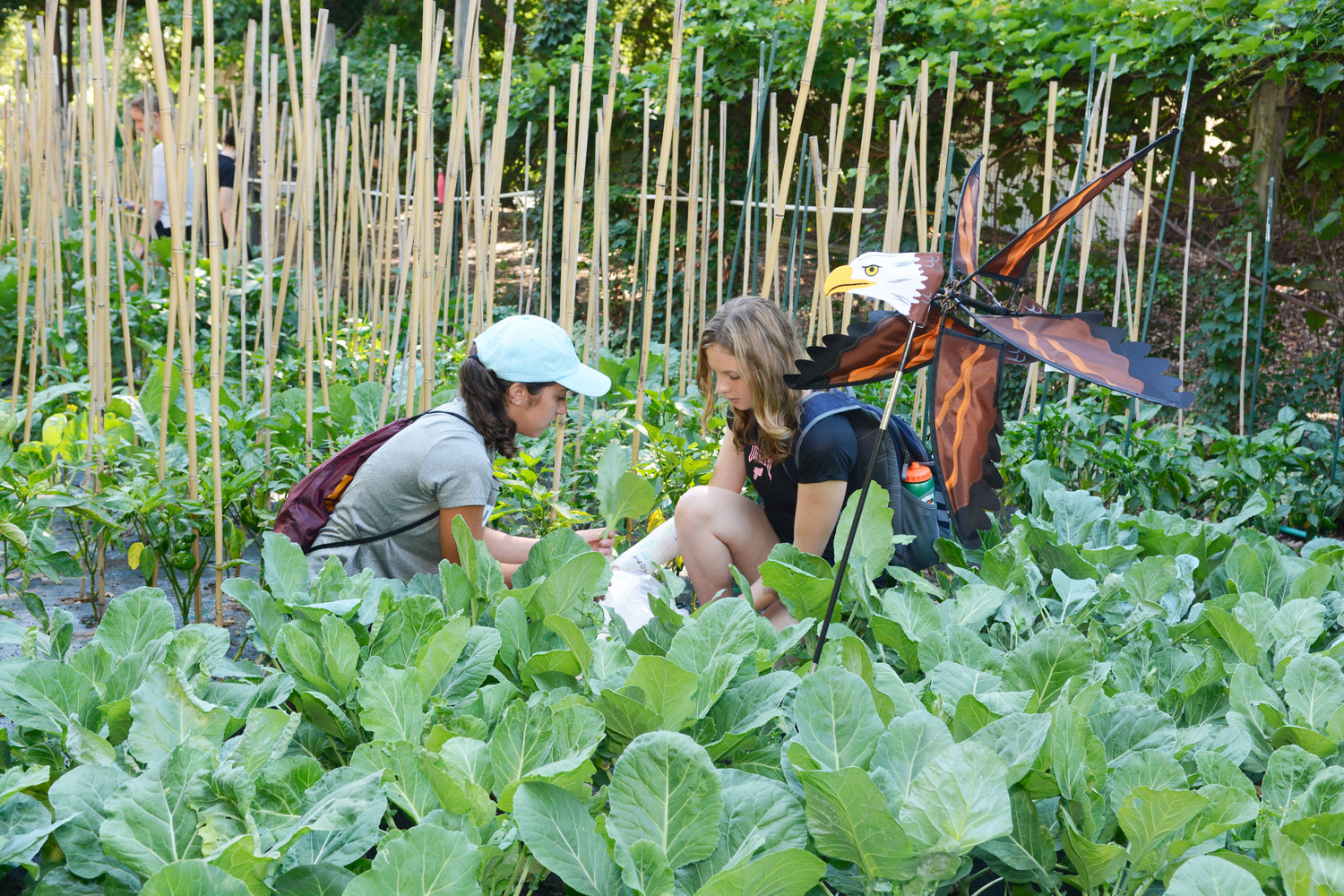 Domenica Voli, left, and Maille Sherry pick collard greens from the Food for Others Garden in the Wakefield section of the Bronx July 10. Fifteen students from The Ursuline School in New Rochelle volunteered to harvest the garden of collard greens, basil and jalapeno peppers.