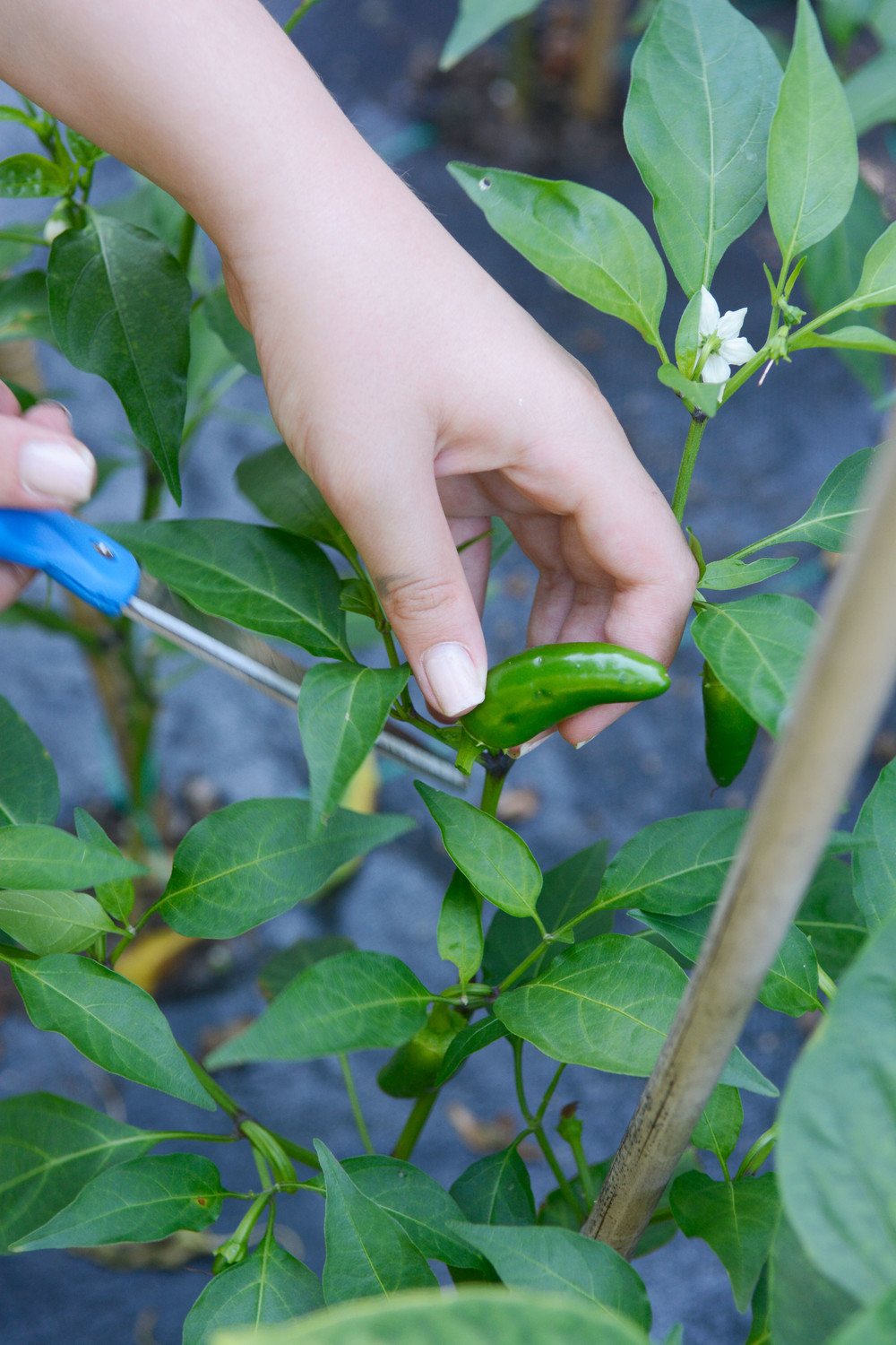 A student clips a jalapeno pepper off a plant.