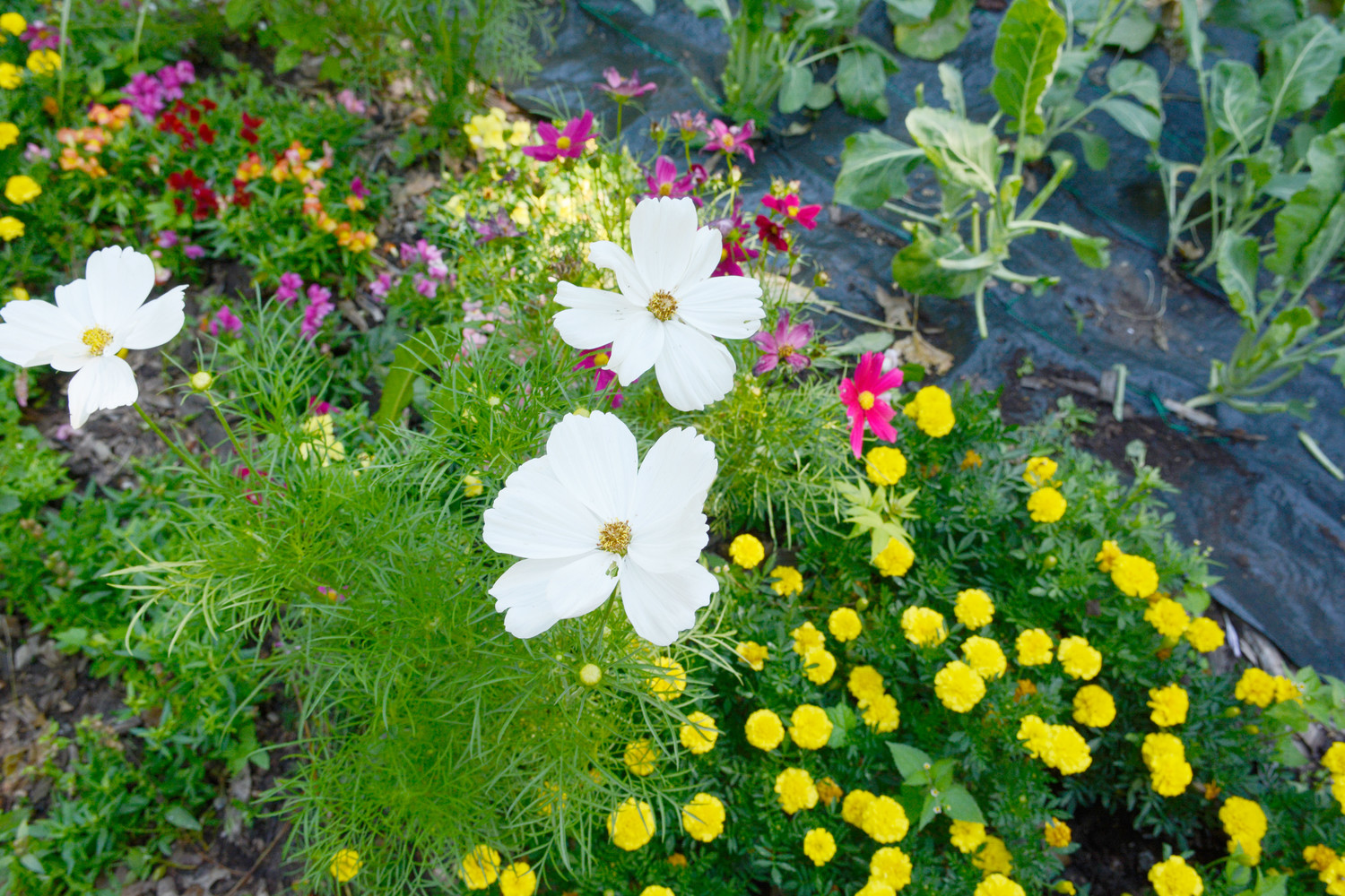 The Food for Others Garden is home to flowers such as white cosmos and yellow marigolds.