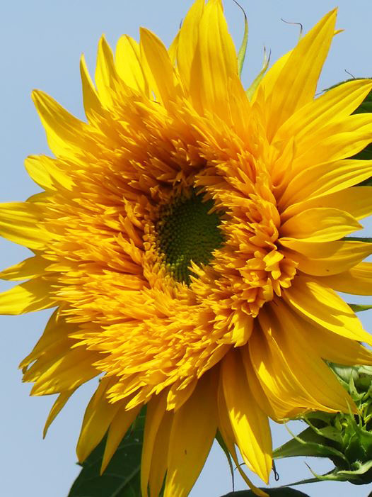 The sunflower seems to epitomize the need for sunlight and transparency in our political conversations
