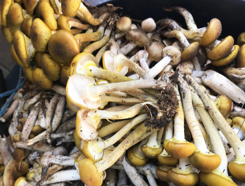 A bountiful harvest of wild mushrooms picked last week in western Rhode Island, in what has become an annual tradition.