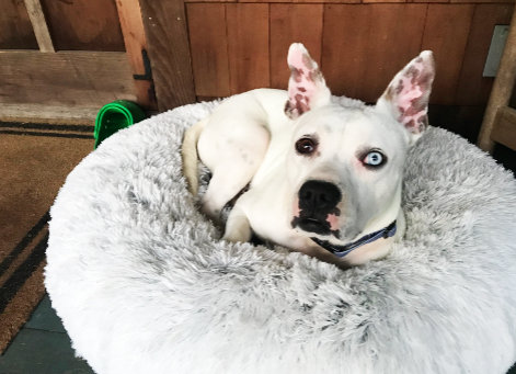 Alfredo, a foster dog in Foster, R.I., is looking to find a forever home.