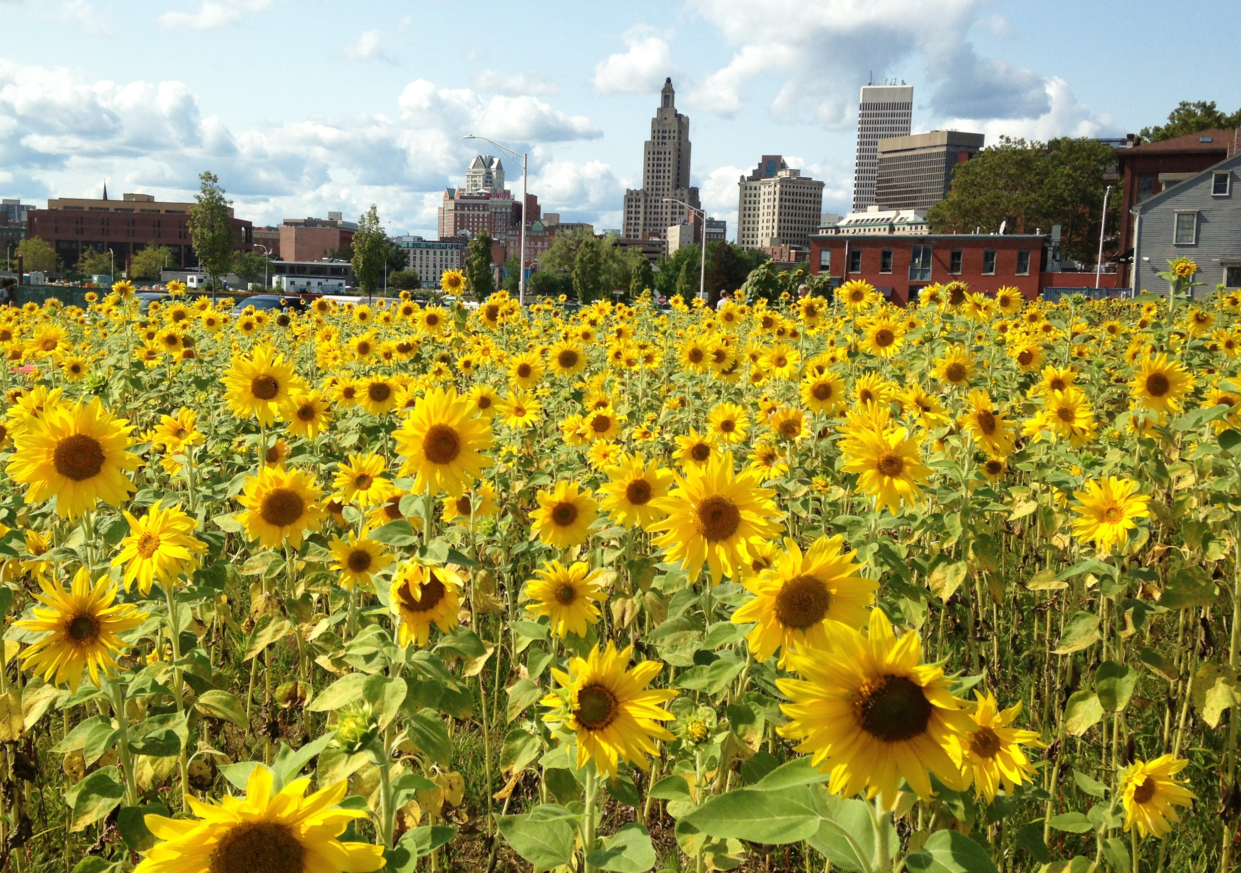 The field of sunflowers in downtown Providence reflects the field of dreams that still inspires new ventures to grow and prosper within the Rhode Island innovation ecosystem, requiring a nurturing of ideas and convergence.