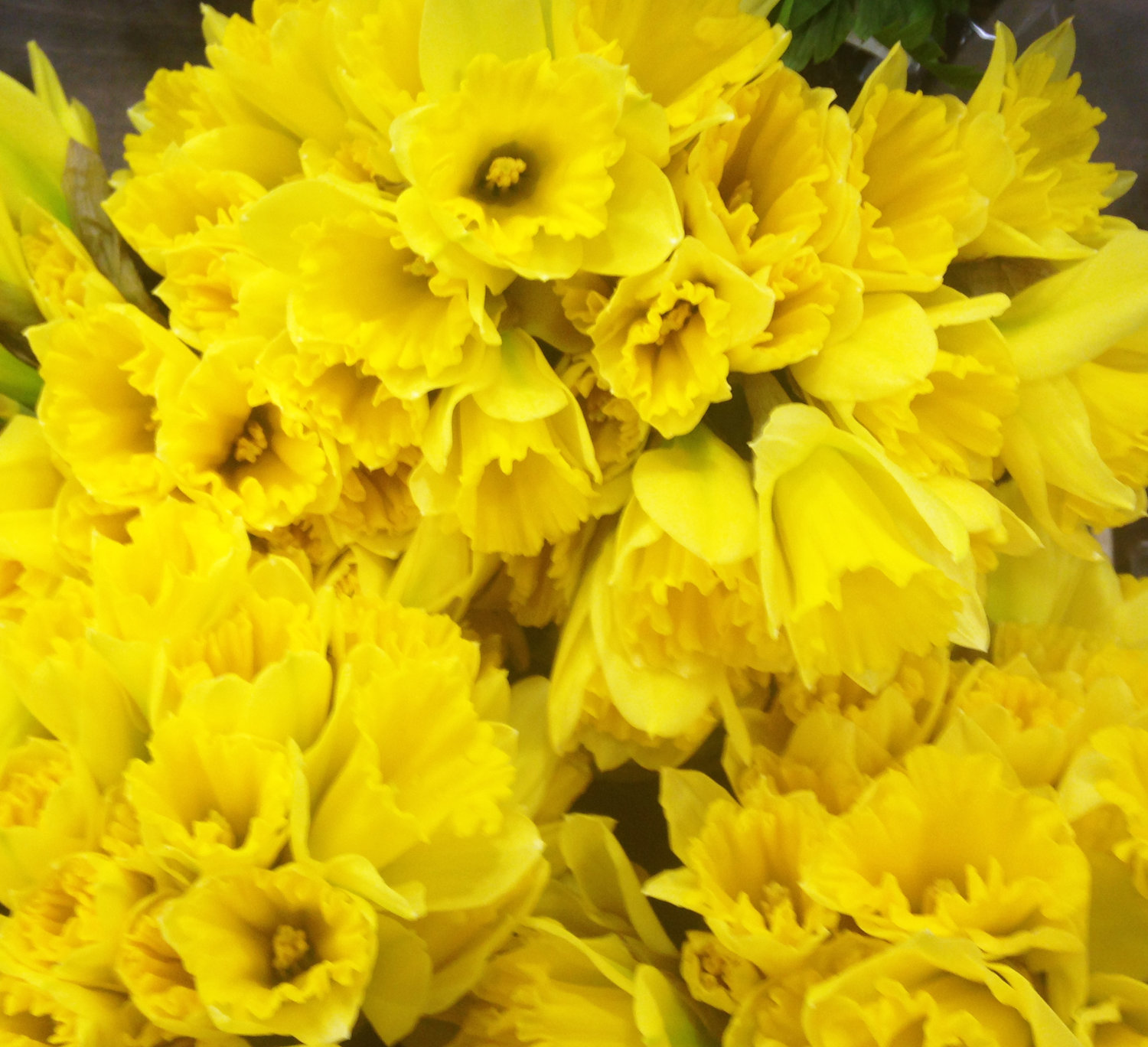 A spray of daffodils, one of the first blooms of spring.