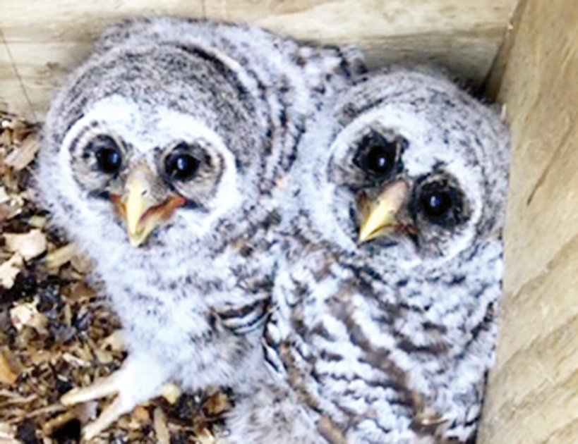 A pair of Barred Owls hatched this spring in one of the new owl boxes at Bremer Sanctuary in Hillsboro.