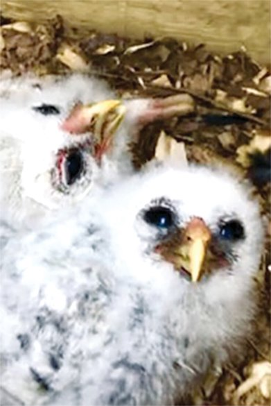 The two Bremer Barred Owl hatchlings as feathers begin to replace down.