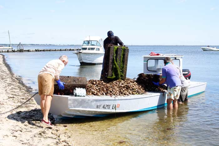 Volunteers collect the 75,000 oysters that grew along the Bellport shoreline in 2019 and prepare them for planting in the bay. A new shellfish management area will prevent those from being harvested.