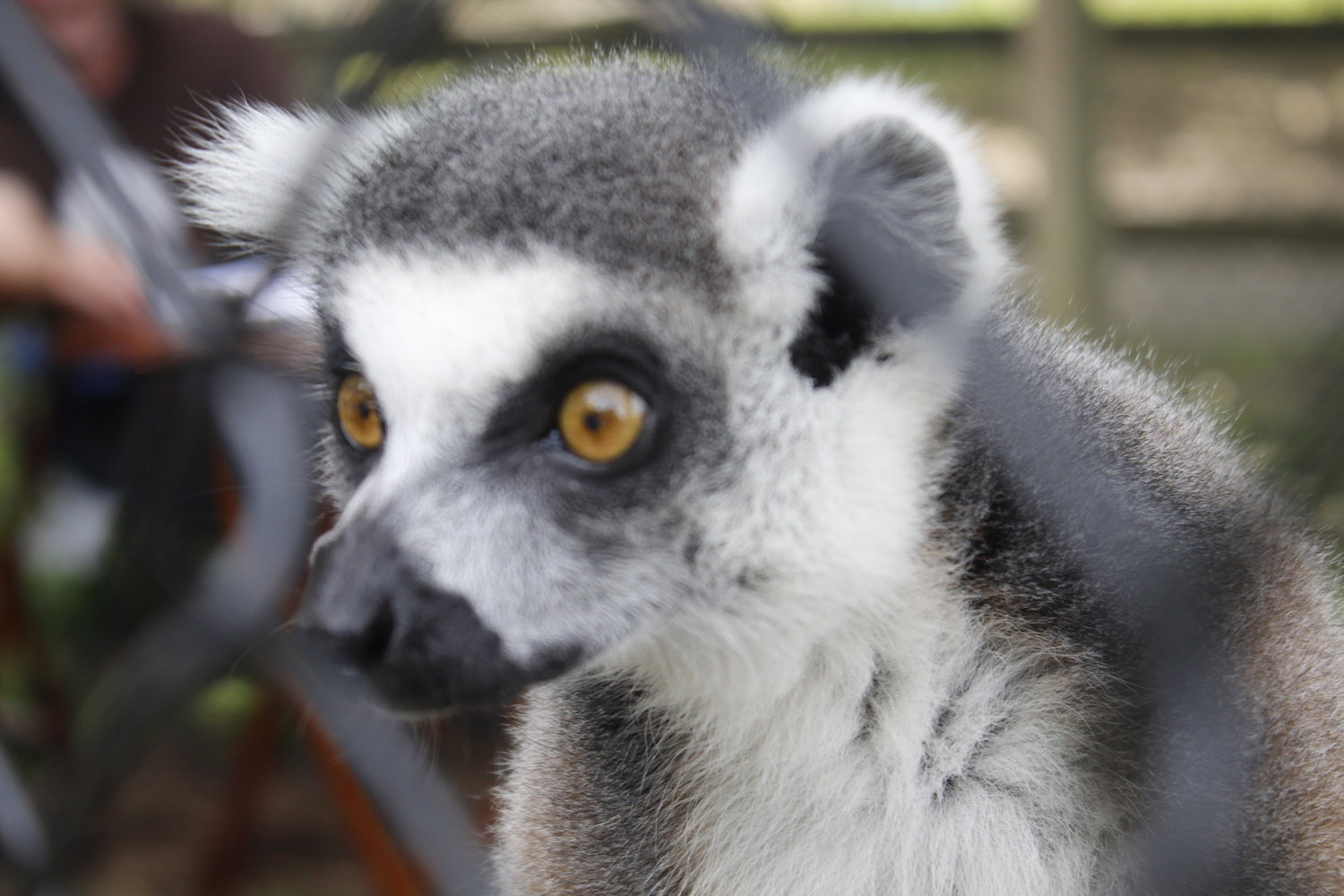 Ring-tailed lemurs are primates native to Madagascar. According to the LI Game Farm, these lemurs can reach 17.75 inches in size (21.75 inches with the tail) and weigh between five to 7.5 pounds.
