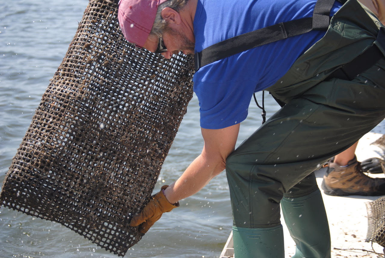 Save the Great South Bay volunteer Jim Kanzler releases oysters into the Great South Bay in August as part of the Save Great South Bay's Oyster Project.