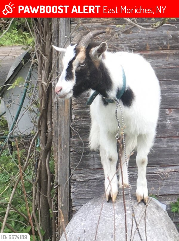 José, a white-and-black pet goat, was recently stolen from his East Moriches home. His owner, Baha, of the Baha farm stand, is distraught.