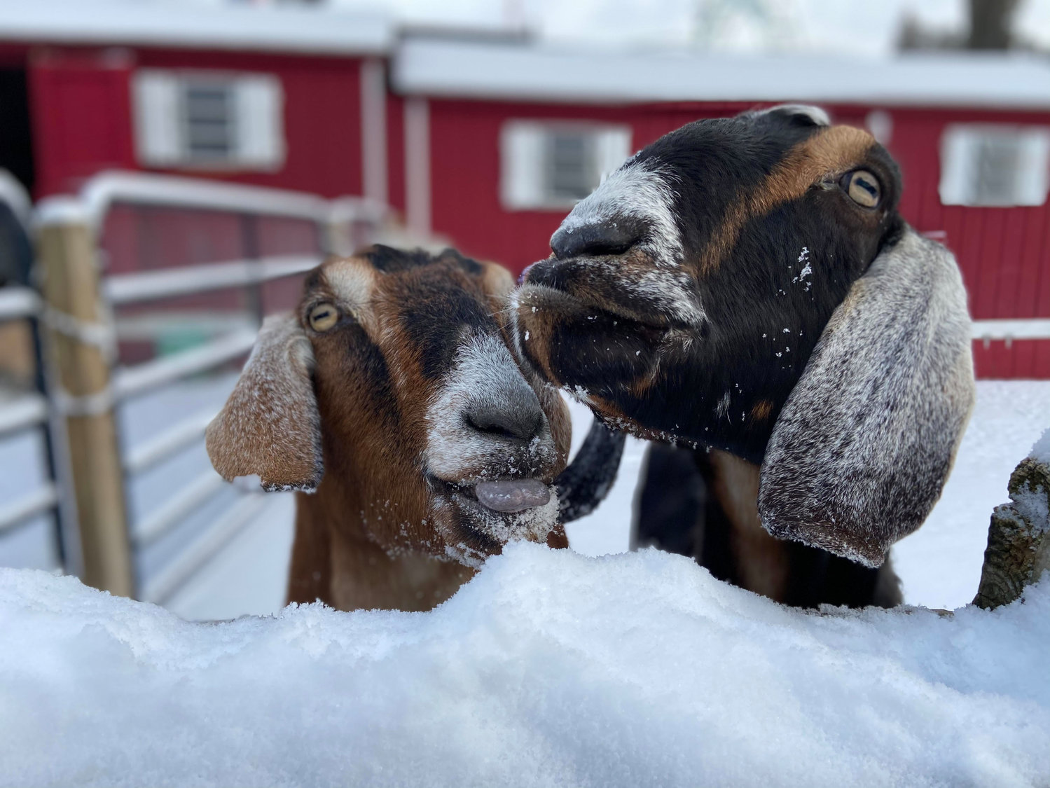 Pictured are Nubian goats Reese and Snickers getting a taste of the cold snow. The preserve is expected to reopen to the public in mid-April.
