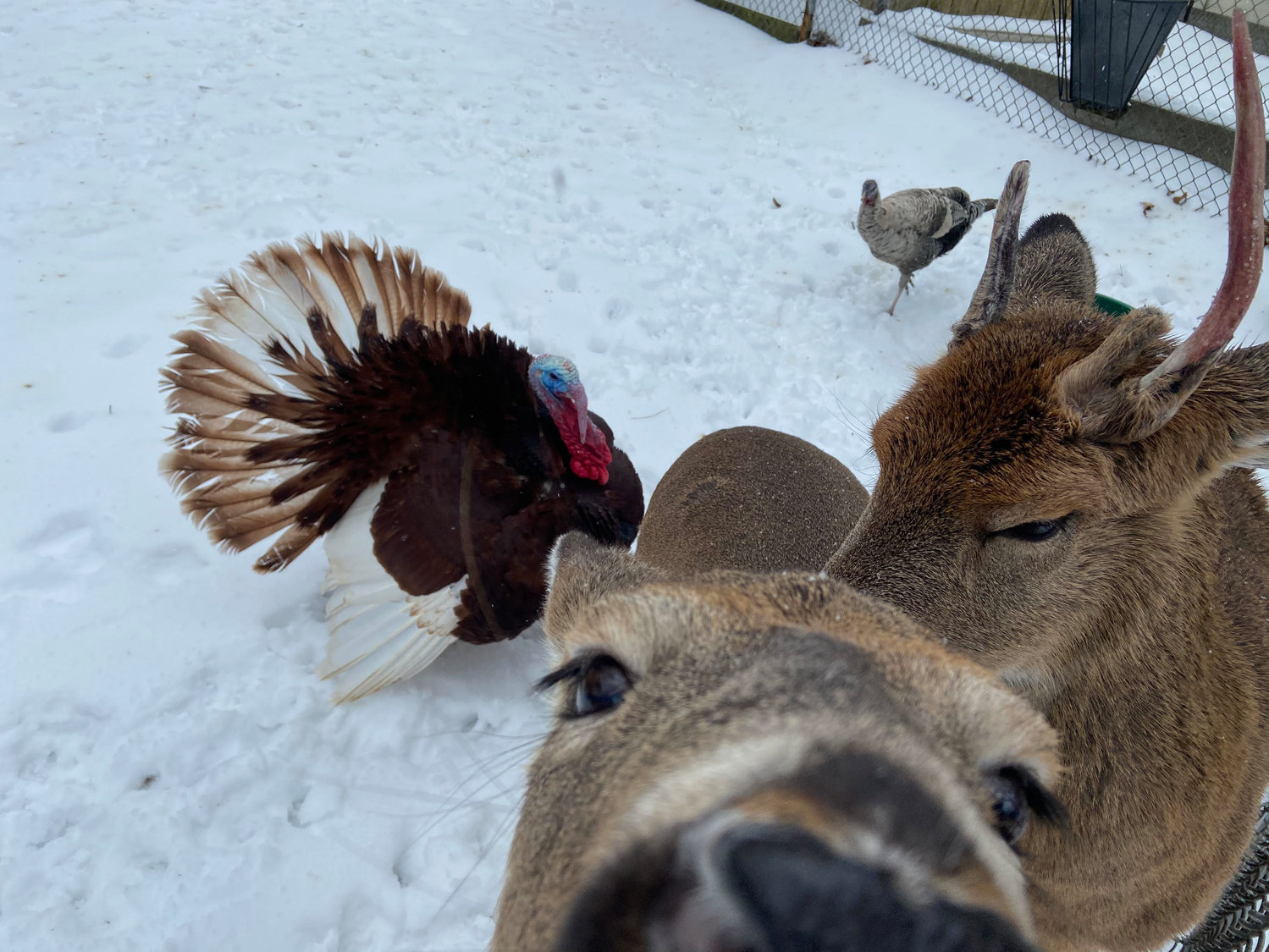 Male and female turkeys, Tom and Tina, play in the snow with white-tailed deer Clarice and Rudy.