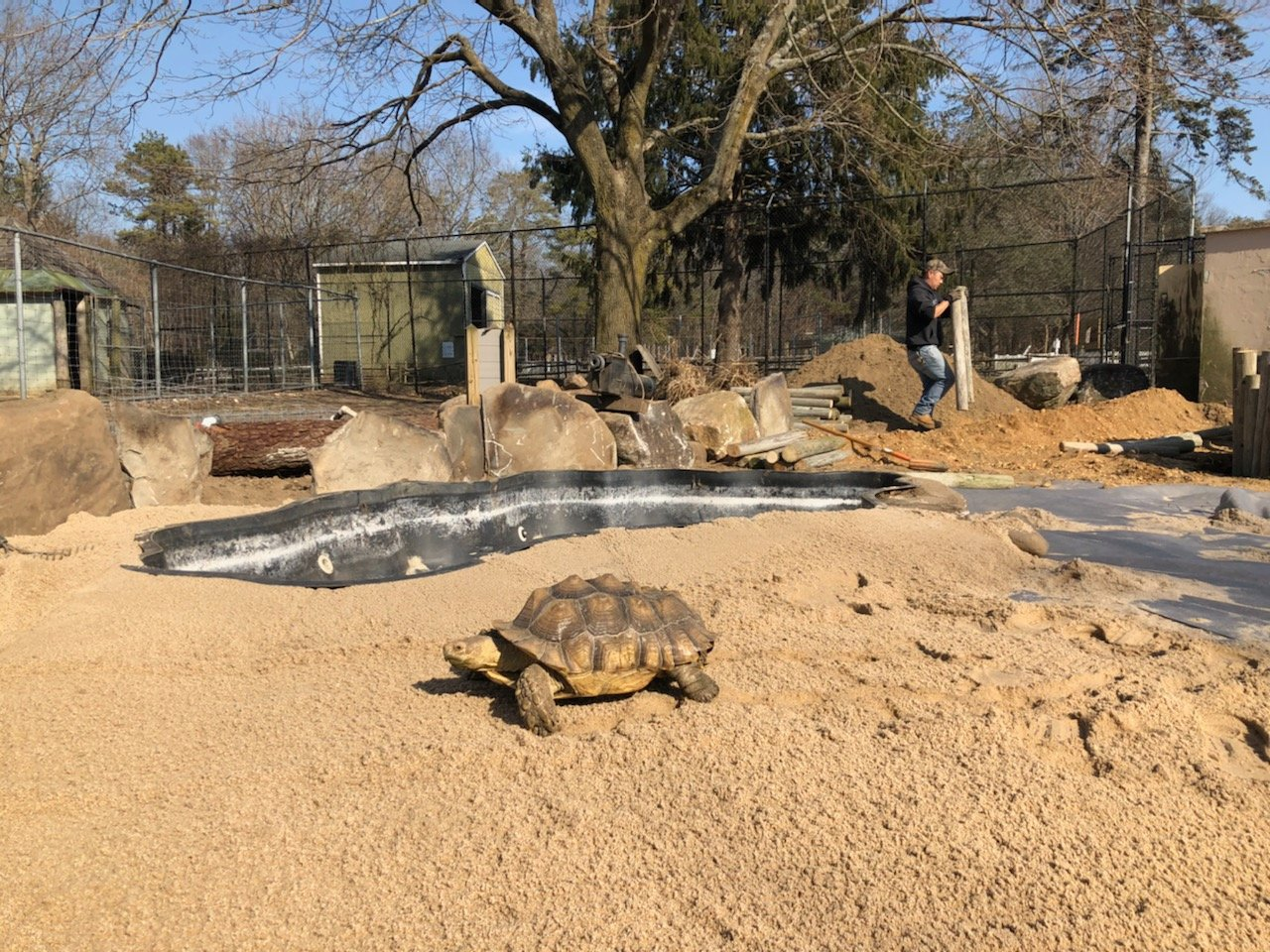 A tortoise on the move at the new exhibit at the Long Island Game Farm.