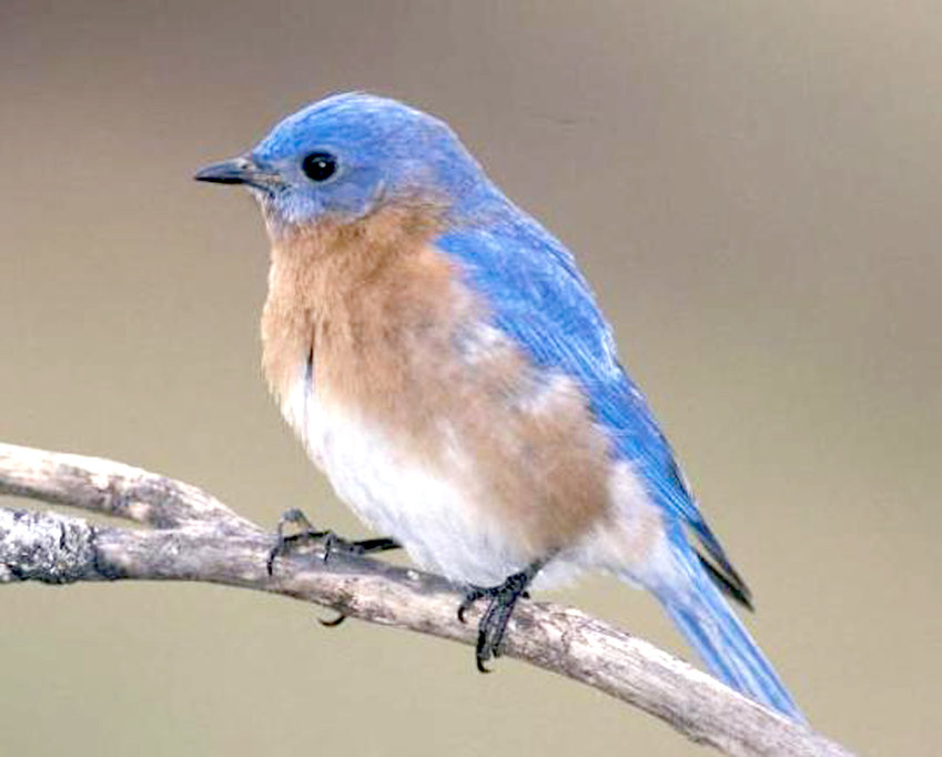 BIRD ENTHUSIASTS wishing to learn how to build a bluebird box to attract the birds into taking up residence on their properties can take advantage of a free class March 15 at the Missouri Department of Conservation Ozark Regional Office.