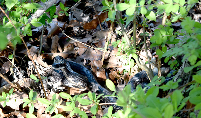 As the weather gets warmer, snakes have begun making their way out of their winter dens to find food. The western ratsnake, shown here, is also known as the black rat snake and is commonly found in Missouri. It can be identified by its shiny black scales and white belly, though younger snakes are light gray with dark brown or black patches. The snakes can grow to be as long as 6 feet, according to the Missouri Conservation Department. They typically feed on rodents, small rabbits, small birds and their eggs and, on occasion, other snakes. Though the black rat snake is not venomous, experts advise not to pick one up if encountered, as the snakes can bite and will smear a stinky musk on those it perceives as a threat.