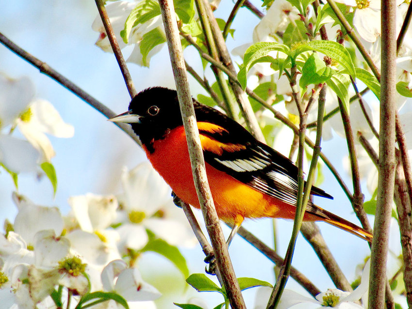 """A male Baltimore oriole perches on a dogwood tree in Bob Anderson's yard in rural West Plains. Anderson snapped the shot over the weekend to announce the return of the brightly-colored birds. While they can be found all through Missouri during the summer months, they are considered uncommon by the Missouri Department of Conservation, which notes, """"There are few people who don't get excited when they catch a glimpse of a bright orange male Baltimore oriole as it dodges among the high boughs of a tree, singing its haunting, flutelike songs."""" Many birdwatchers set out orange halves and grape jelly for the birds in hopes of attracting orioles to their yards."""