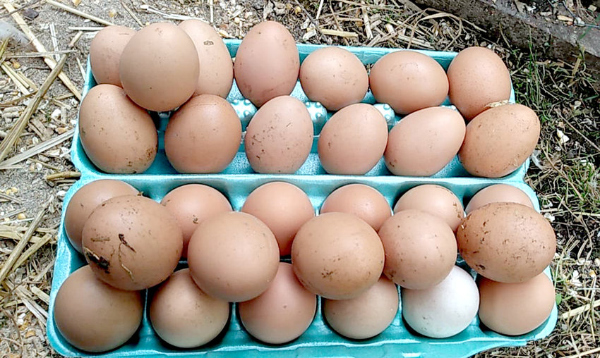 This columnist recently learned a very important lesson: Not only should eggs be checked for often, but sometimes, a hen will bury them, so what one sees is not necessarily what one gets.