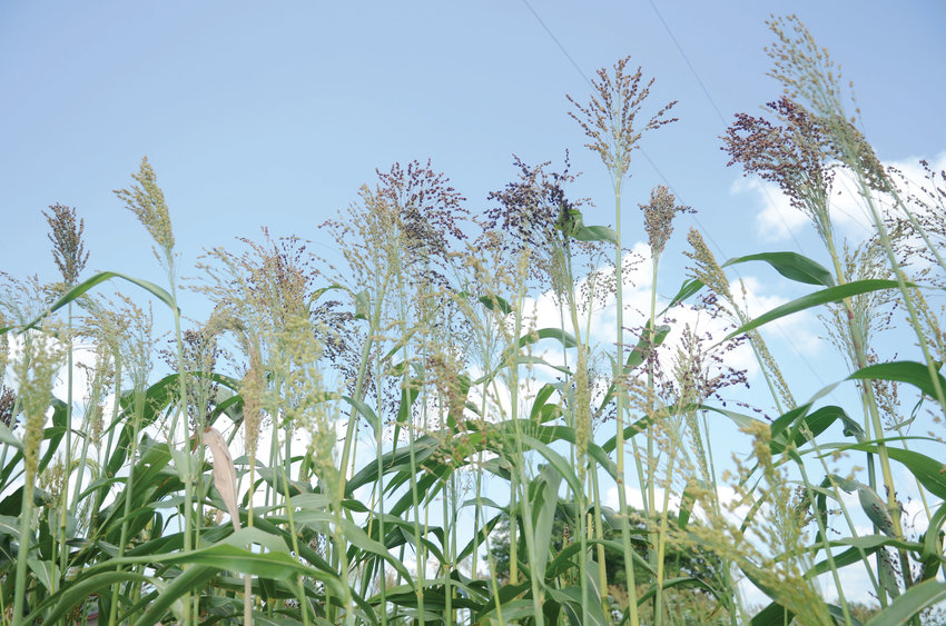 A patch of broomcorn on property east of Wayne owned by Randy Robinson is remindful of days gone by.