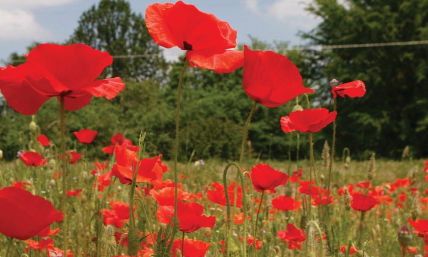 The poppy field hit full bloom just in time for the dedication ceremony on Sunday.