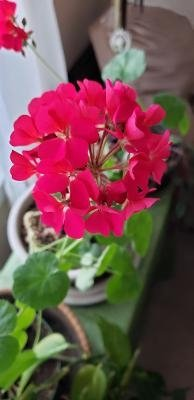My Aunt Judy's geranium blooming right now.