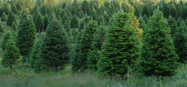 Christmas Tree King Fred Vahlsing purchased his trees from farms in Nova Scotia in July each year, and hired his cutting crews in October.