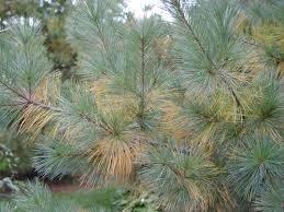 Yellowing pine needles