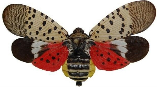 The Adult Lanternfly
