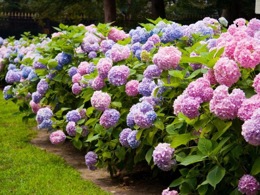 The go-to-plant for summer blooming is hydrangea.