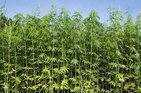 Hemp is refined into products such as hemp seed foods, hemp oil, wax, resin, rope, cloth, pulp, paper and fuel.
