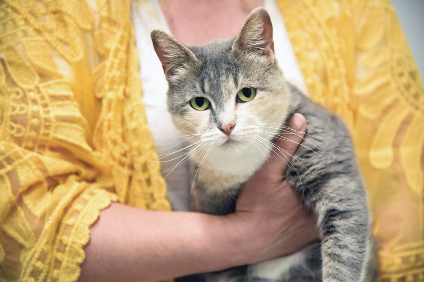 Tangelo, a 7-year-old feline, sits pretty in the arms of Sedalia Animal Shelter Manager Randi Battson Friday, May 15, 2020.