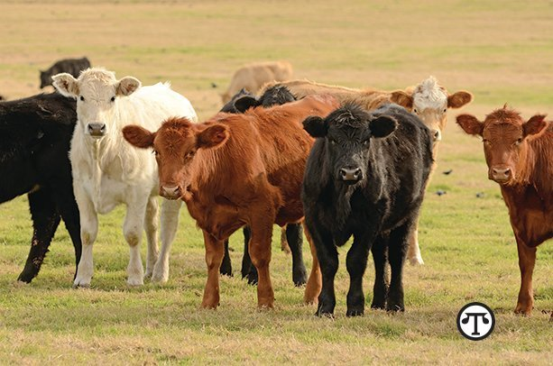 Early treatment with broad-spectrum antibiotics helps keep cattle healthy year round.
