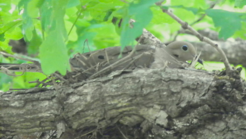 Last year these doves nested on Lightnin' Ridge, behind my office, in mid-August… this dove was incubating eggs on Aug.17.