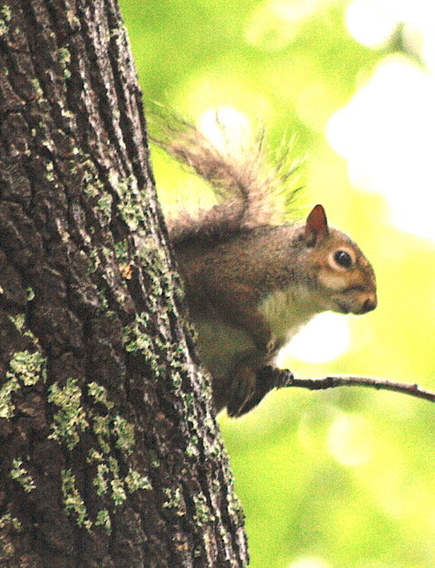 It is likely that there are fewer squirrel hunters today than there were 50 years ago. Few hunters want to clean them, but if you ever ate squirrel and dumplings, or grilled a marinaded squirrel, you might want to hunt them. Populations in hardwood forest are as high as ever.