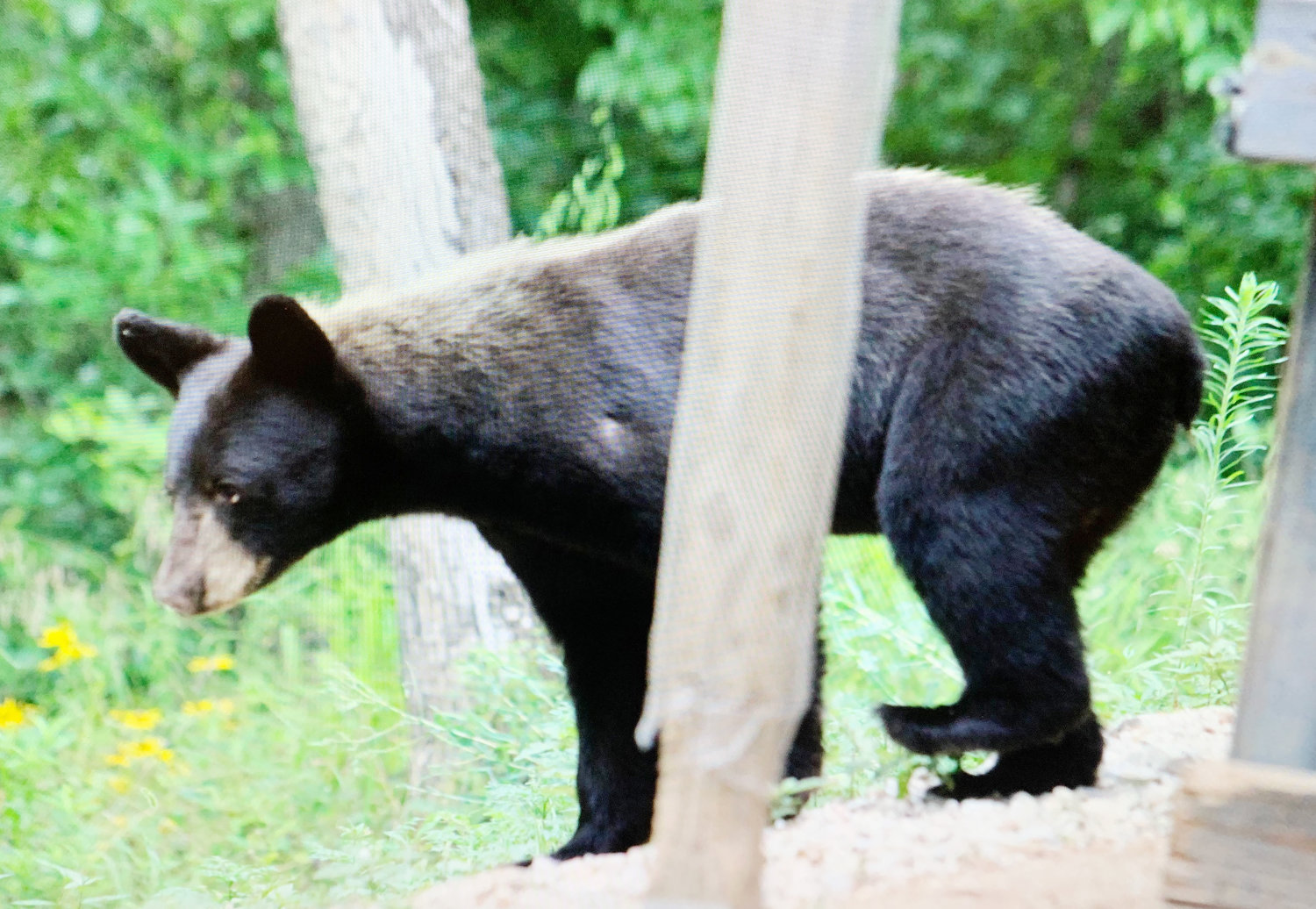 This young bear spent several days in the area on the west side of the Gasconade River. The Missouri Department of Conservation suggests not leaving food outside, which draws bears who have a very good sense of smell.