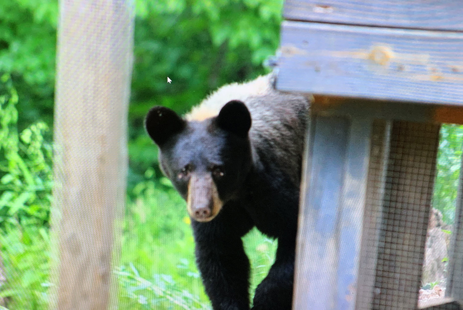 Steve Deaton of Vienna, got several good photos of this young male bear that he first discovered had killed some of his chickens.