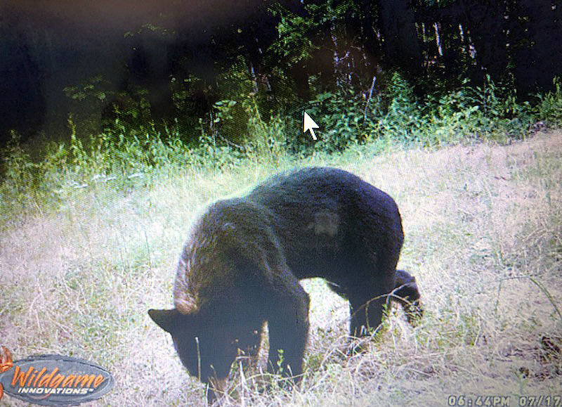Carl Tiemann caught this bear on a game camera near his property at MCR 340, old Highway 63. He used dry molasses to draw the bear to be photographed.
