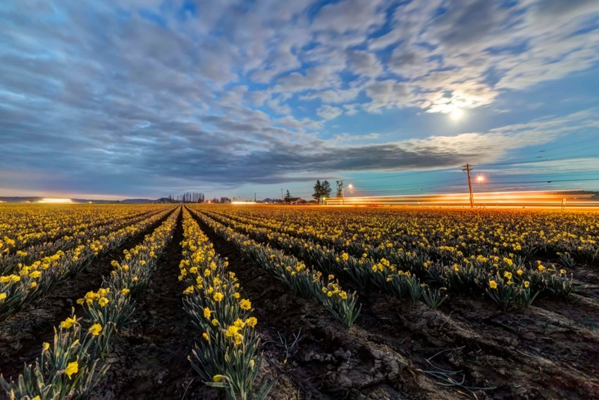 Daffodils under the moonlight in La Conner. Photo by Andy Porter Images.