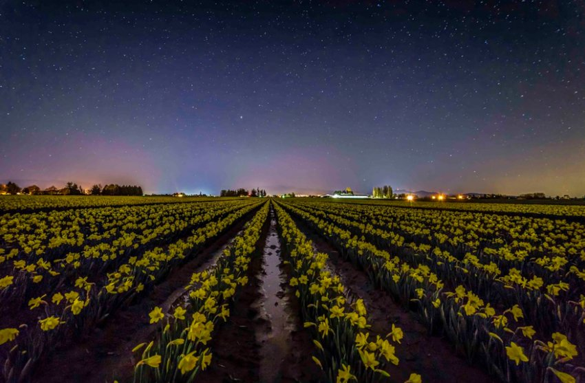 La Conner daffodils under stars. Photo by Andy Porter Images.