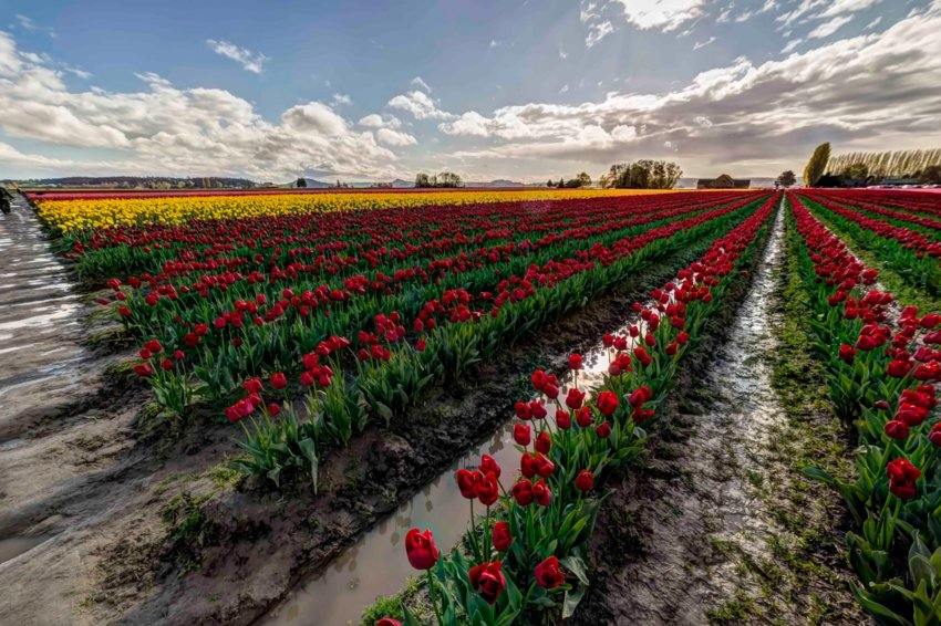 Skagit Valley Tulip Festival. Photo by Andy Porter Images.